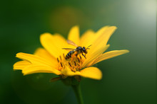 Bee. Close Up Of A  Striped Bee Collecting Pollen On A Yellow Flower. Macro Horizontal Photography.
