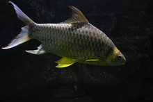 Golden Tinfoil Barb Fish Barbo...