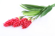 Fake Red Cone Ginger Flower On White Background