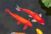Fancy Carp(Koi) Fishes Are Swi...