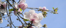 Magnolia Blossom Tree. Beautiful Magnolia Flowers Against Blue Sky Background Close Up. Japanese Magnolia.