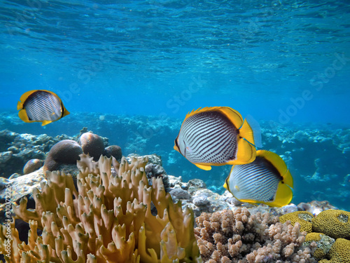 red-sea-coral-reef-with-hard-coral-and-spot-tail-butterflyfish