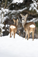 Roe Deer In Snowy Environment
