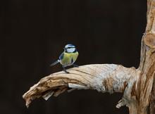 Eurasian Blue Tit On Branch