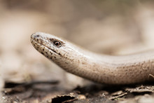 Close Up Of Snake