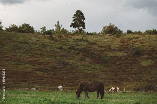Horses grazing in meadow - 310385278
