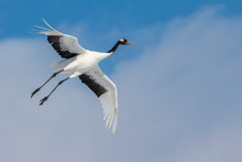 Red Crowned Crane Flying