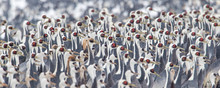 Colony Of Red Crown Cranes