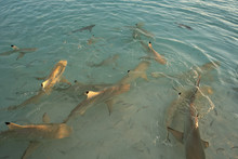Feeding Frenzy Of Blacktip Ree...