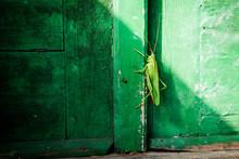 Grasshopper On Green Wall