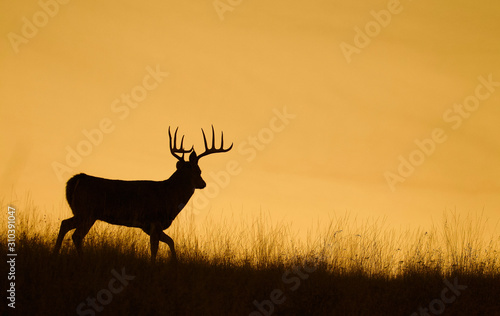 Silhouette of a Whitetail Deer Buck walking along a ridge top at sunset