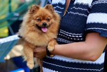 Dog Breed Pomeranian Spitz
