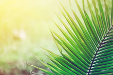 Green Palm Leaves As Background.Palm Sunday Concept.