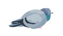 Fat Pigeon Flat Vector Illustr...
