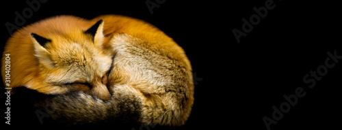 Red fox with a black background Slika na platnu