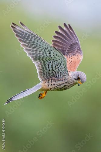 Common Kestrel (Falco tinnunculus) male flying close-up, Baden-Wuerttemberg, Germany Fototapete