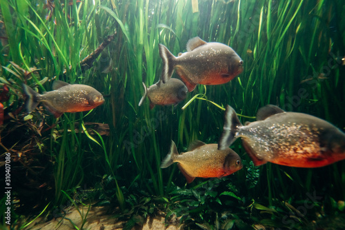 Freshwater aquarium fish, The red bellied piranha, the red piranha Tablou Canvas