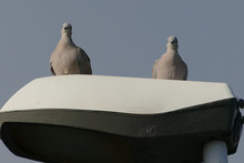 Photo Picture Of Two Pigeons