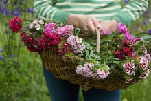 Midsection Of Woman With Basket Of Flowers