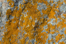 Structured Yellow Moss On The Grey Stone. Orange Moss On A Rough Rocky Surface