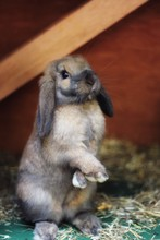 Rabbit Standing With Paws Cros...
