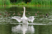 Swan In The Water - Zwaan