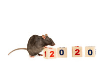 Black Rat With A Beautiful Pink Nose Sits Near The Cubes With Numbers 2020 On A White Background