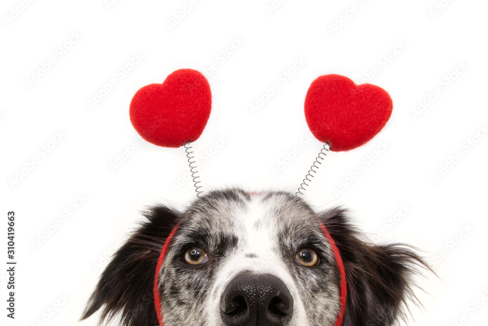 Fototapeta close-up hide dog love wearing a heart shape diadem. valentine's day concept. Isolated on white background.