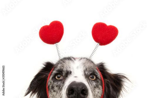 Cuadros en Lienzo close-up hide dog love wearing a heart shape diadem