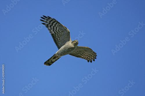 Fotomural Eurasian Sparrowhawk (Accipiter nisus), female flying in blue sky, Rügen, Meckle