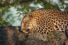 Female Leopard Resting In A Tr...