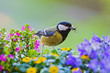 canvas print picture - Great Tit (Parus major) adult with insect in bill sitting in blooming flowers, Heidelberg, Baden-Wuerttemberg, Germany