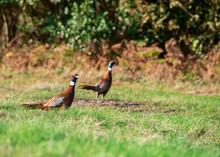 Pair Of Pheasant