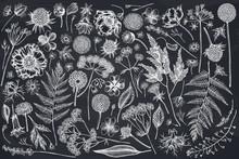 Vector Set Of Hand Drawn Chalk Shepherd's Purse, Heather, Fern, Wild Garlic, Clover, Globethistle, Gentiana, Astilbe, Craspedia, Lagurus, Black Caraway, Chamomile, Dandelion, Poppy Flower, Lily Of The