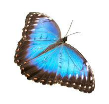 Fluorescent Bright Blue Morpho Butterfly Sitting Isolated