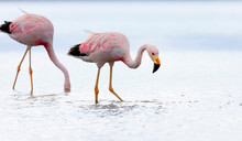 Closeup Of Two Andean Flamingo...
