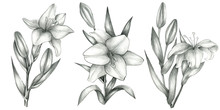Pencil  Drawn Lily Set Isolate...