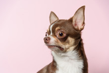 Bad Surprised Brown Mexican Chihuahua Dog On Pink Background. Dog Looks Left. Copy Space