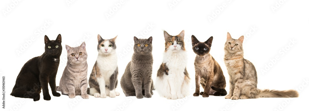 Fototapeta Group of various breeds of cats sitting next to each other looking at the camera on a white background