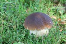 Boletus Reticulatus (formerly  Boletus Aestivalis), Known As The Summer Cep Or Summer Bolete, Wild Edible Mushroom From Finland