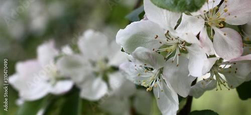 Obrazy kwiat jabłoni   swieze-delikatne-kwiaty-jabloni-z-latwym-rozowym-nalotem-na-bialych-platkach-zdobia-galaz