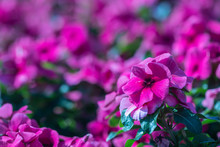 Close Up Purple Madagascar Periwinkle Flower In A Garden.Commonly Name Bright Eyes,Cape Periwinkle,graveyard Plant,old Maid,pink Periwinkle,rose Periwinkle.(Catharanthus Roseus)