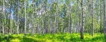 Birch Grove On A Sunny Spring ...