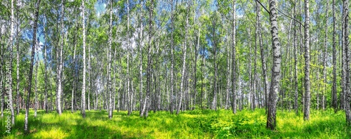 Birch grove on a sunny spring summer day, landscape banner, huge panorama Wallpaper Mural