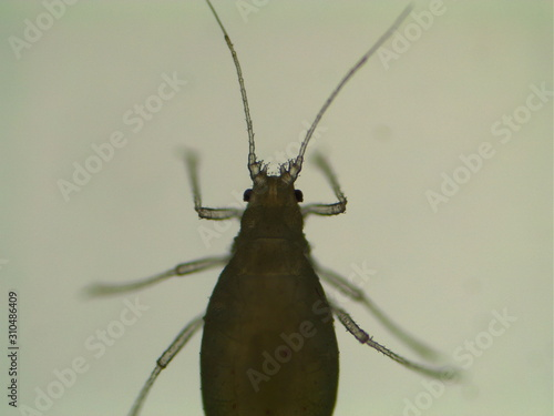 Photo Cannabis Aphid