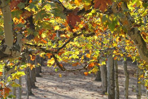 Platanen im Herbst