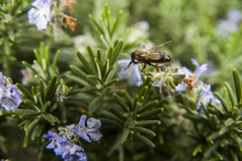 Bee On Thyme Plant In Spring