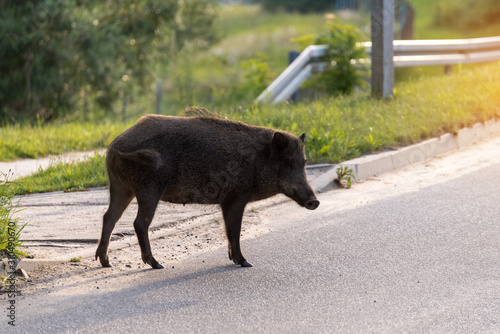 Photographie Wild boar walk on the street in the city and looks for food.