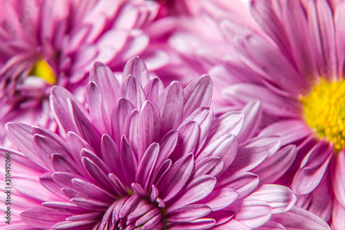 Autumn chrysanthemum flowers close-up as a bright background Wallpaper Mural