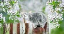Cute Striped Kitten Sits In May Sunny Garden Under Cherry Branches With White Flowers